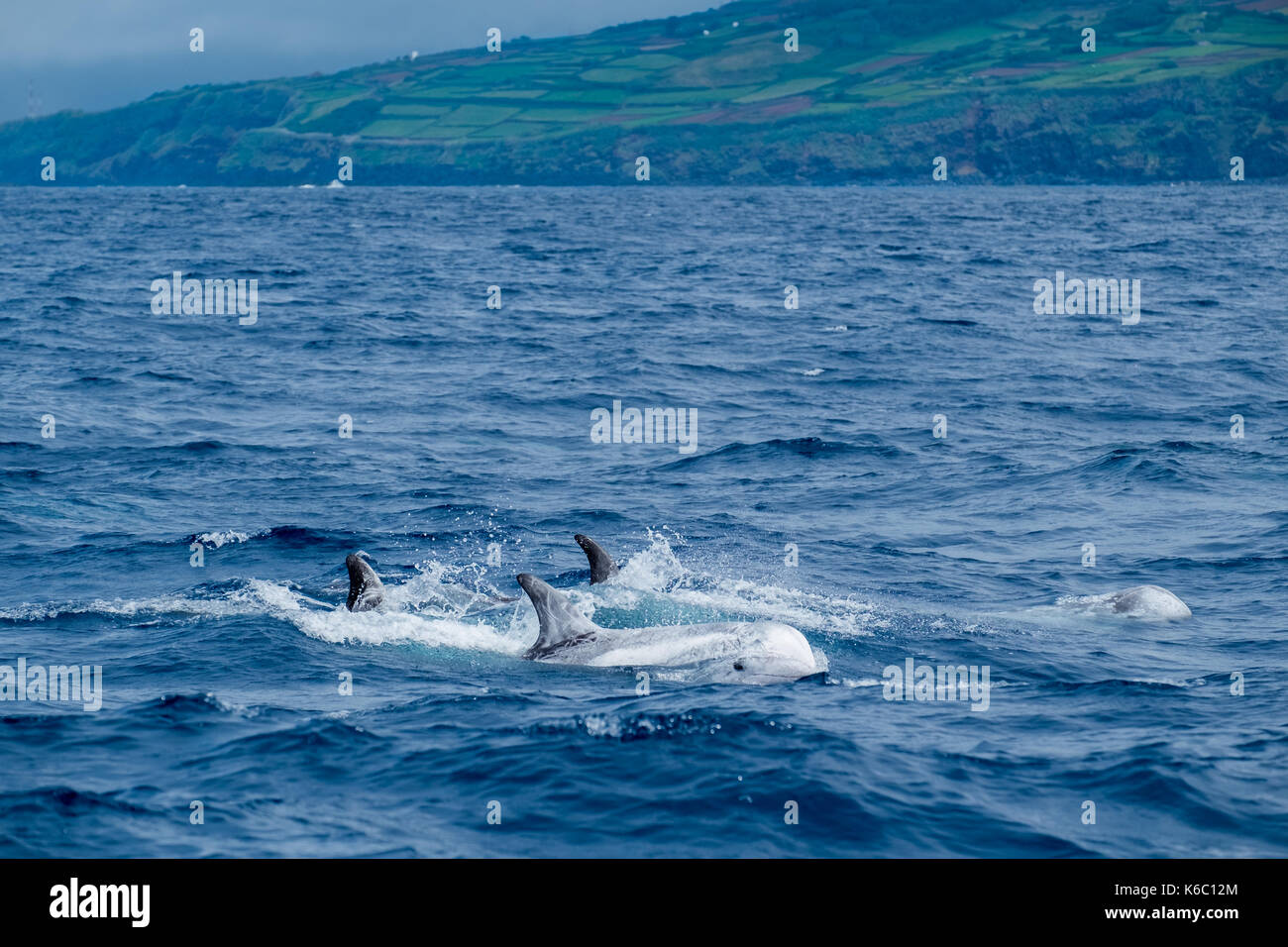 A pod of Risso's dolphins power through the waves near to the shore of the Azores. - Stock Image