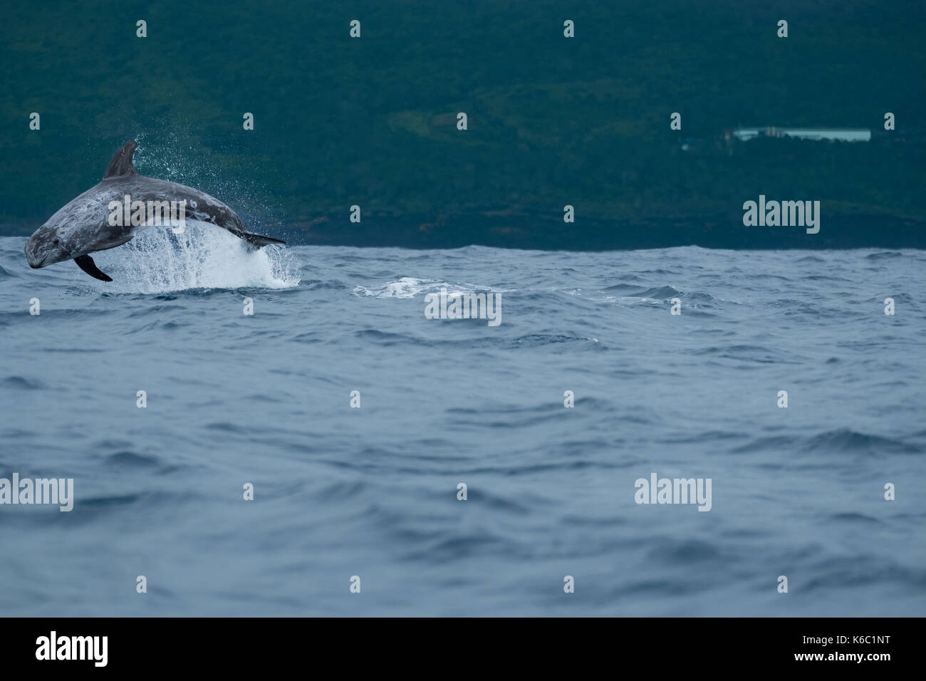 A Risso's dolphin leaping clear of the water near to the A ores; normally placid. This one was chasing other dolphins from its territory. - Stock Image