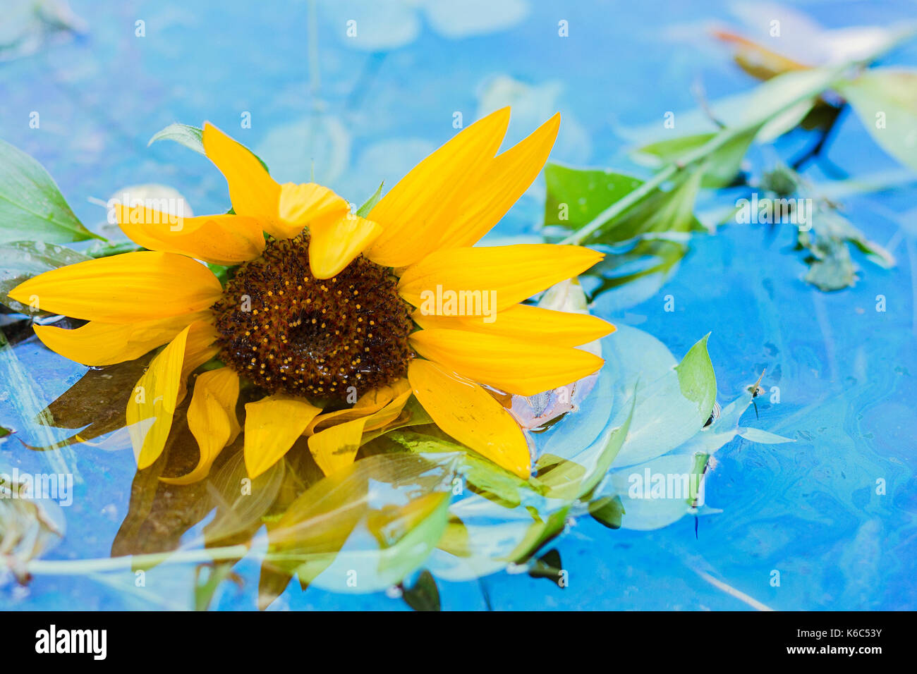 Thrown away sunflower laying in a flooded street puddle - Stock Image