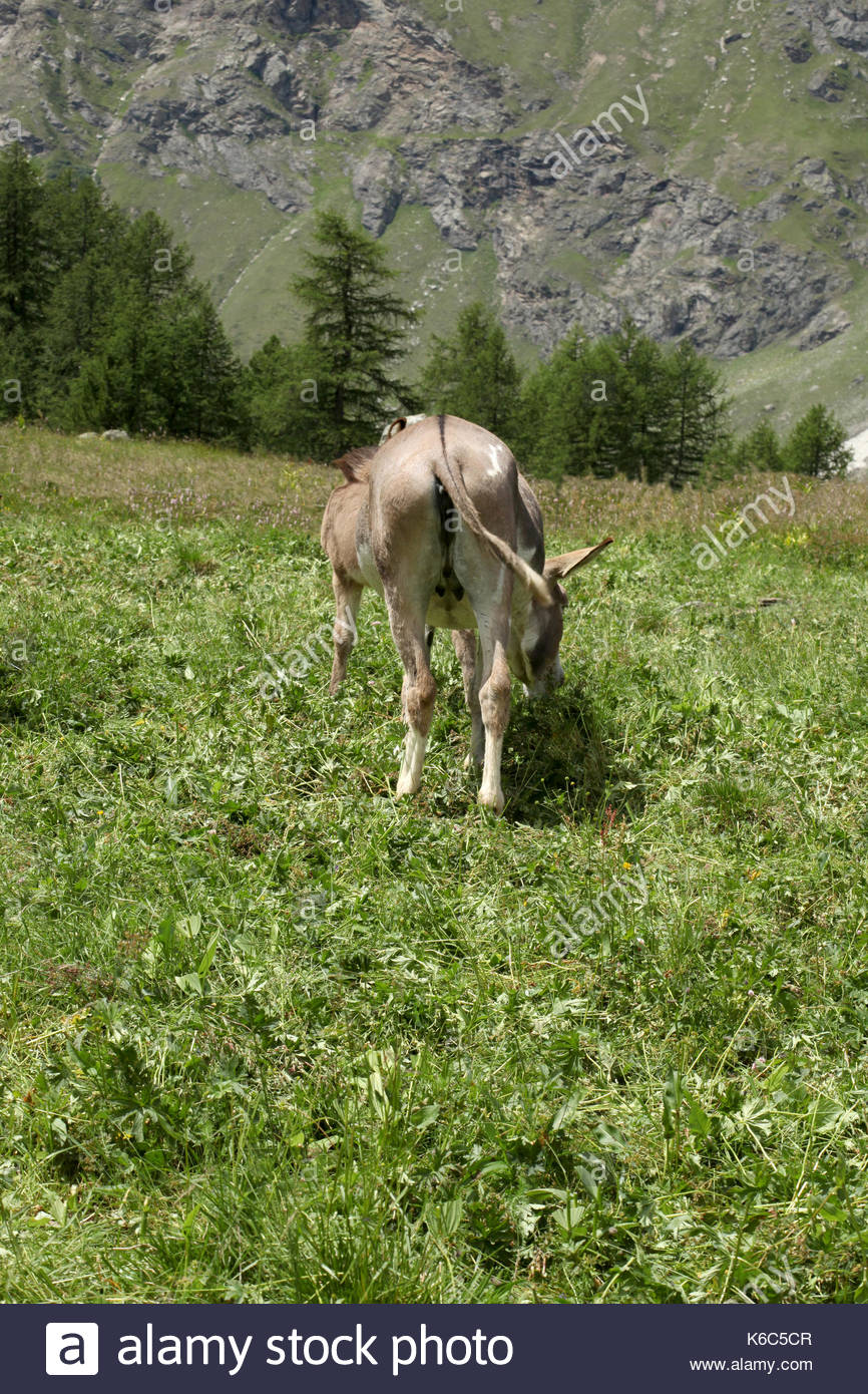 two donkeys grazing on a meadow on italian alps valle d'aosta - Stock Image