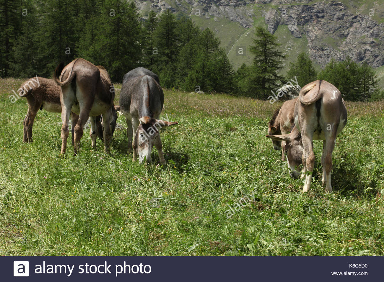 a group of donkeys grazing on a meadow on italin alps valle d'aosta - Stock Image