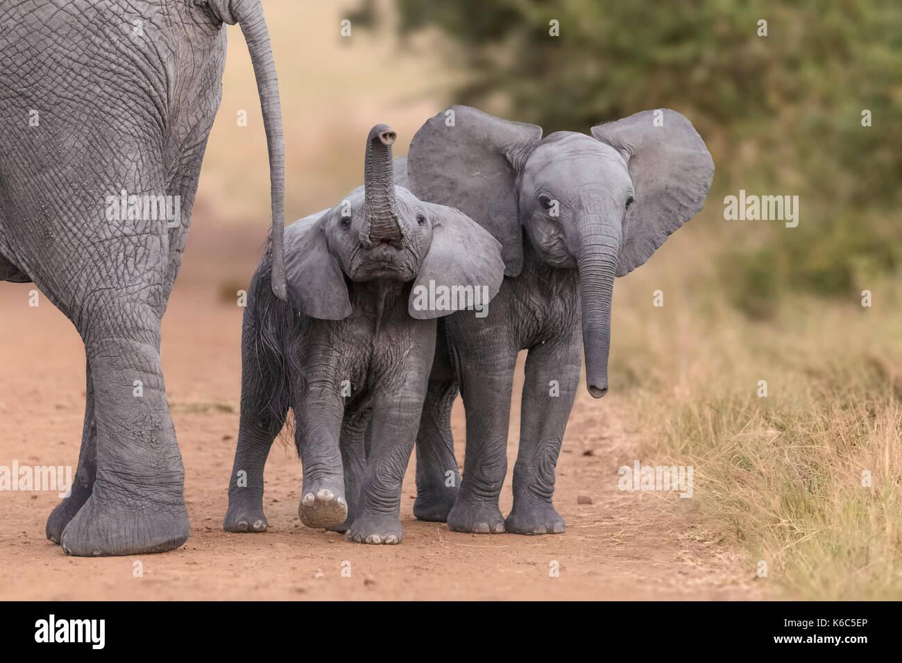 baby elephants playing in Kenya, Amboseli - Stock Image