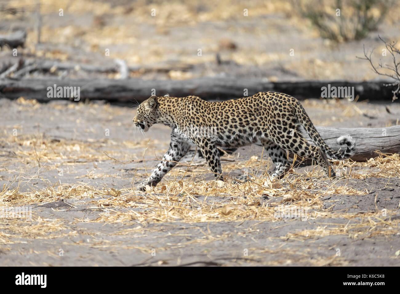 Leopard on the move, Kwai, Okavango delta, botswana - Stock Image
