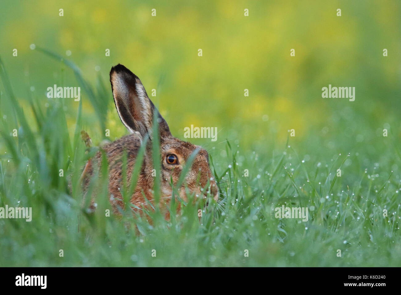 European Brown Hare (Lepus europaeus) sitting in a dew wet field. Europe - Stock Image