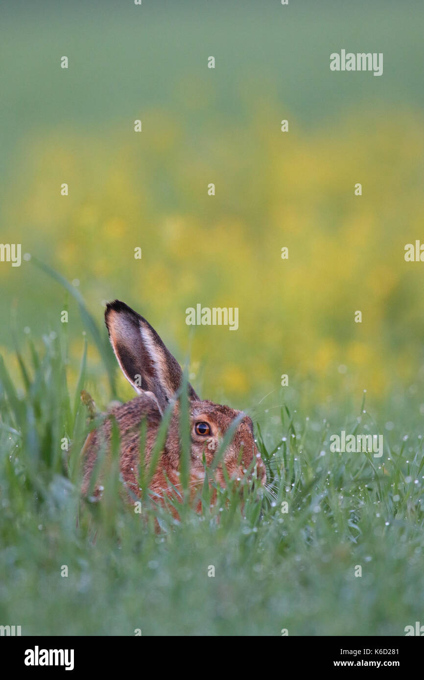 European Brown Hare (Lepus europaeus) sitting in a dew wet field. Europe Stock Photo