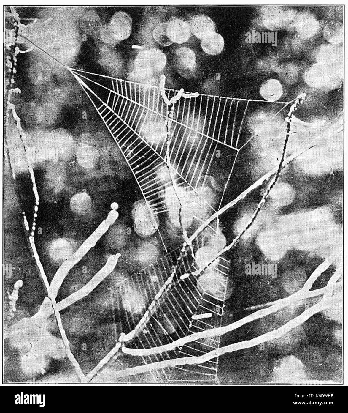 Common Spiders U.S. 500 Hyptiotes web - Stock Image