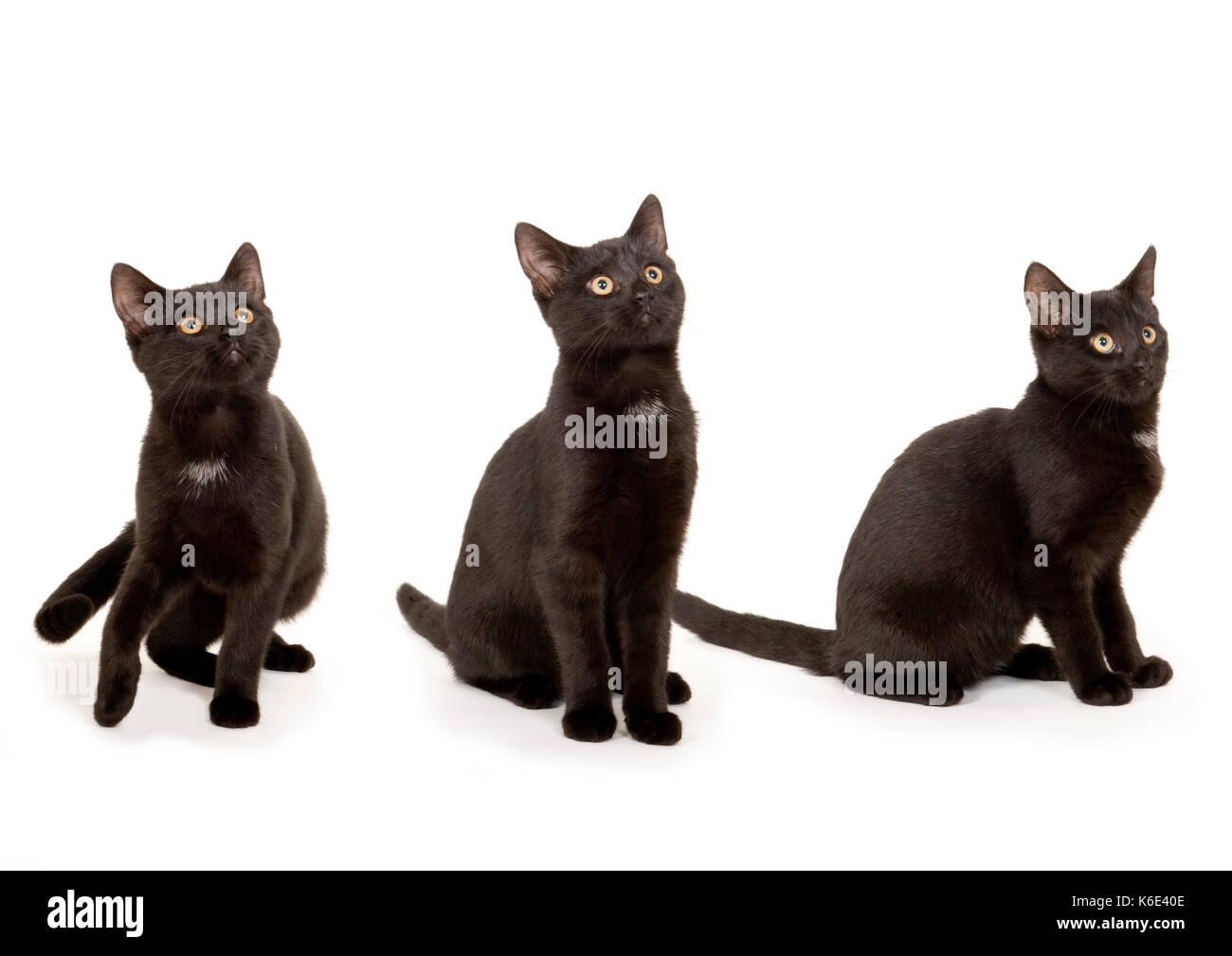 6 month old Kitten, Cat, Black, in studio, UK, composite image digitally enhanced - Stock Image