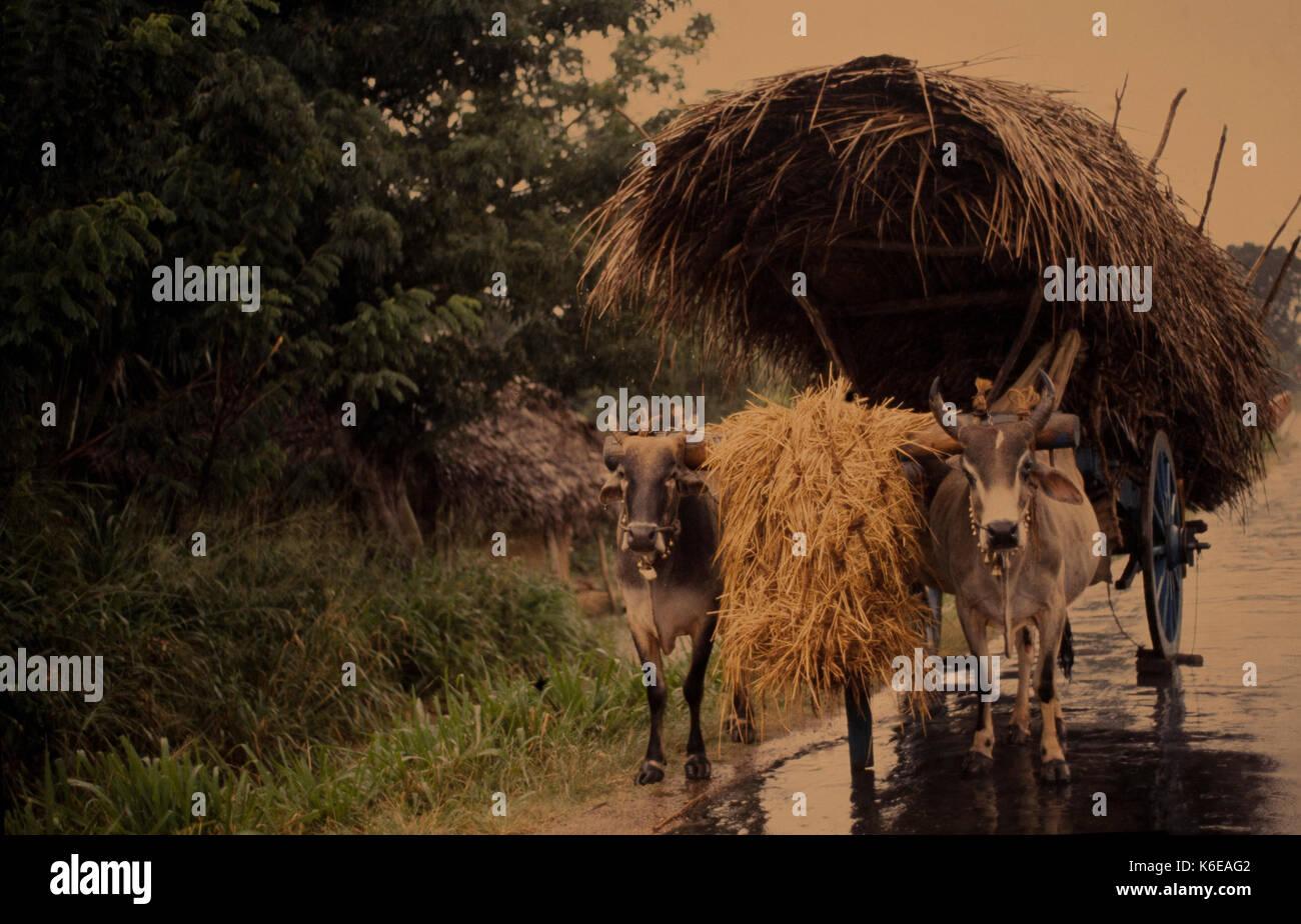 sri Lanka, cart and oxen - Stock Image