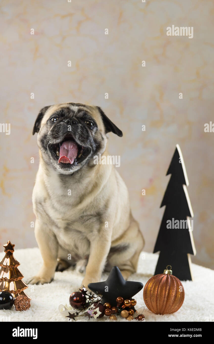 Dog pug sits behind Christmas decoration bronze and black - Stock Image
