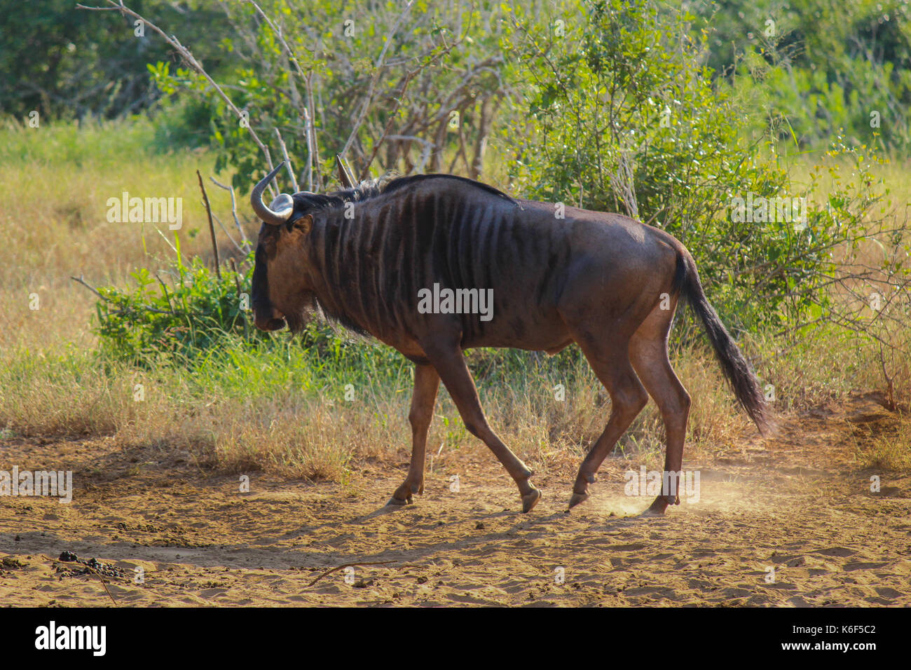 Wildebeest walking in Kissama National Park - Angola Stock Photo