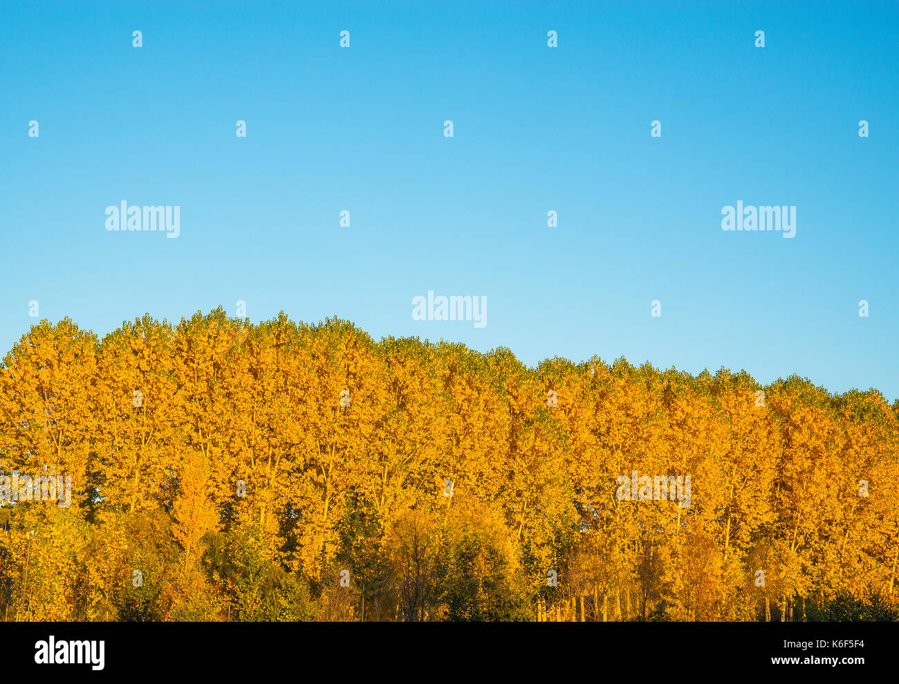 Tree tops in Autumn against blue sky. - Stock Image