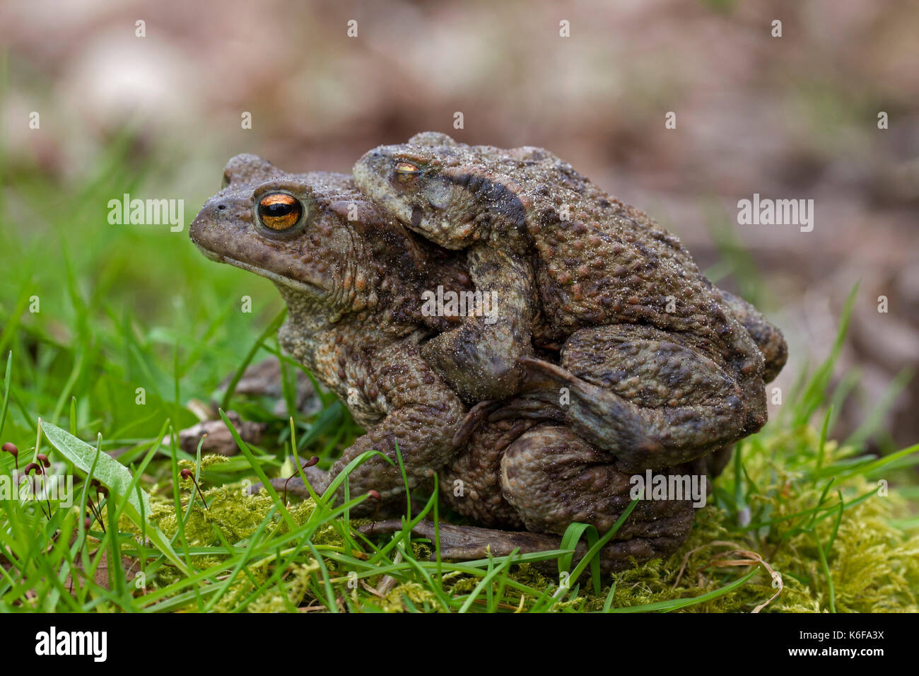 Common toad / European toads (Bufo bufo) pair in amplexus walking over grassland to breeding pond in spring - Stock Image
