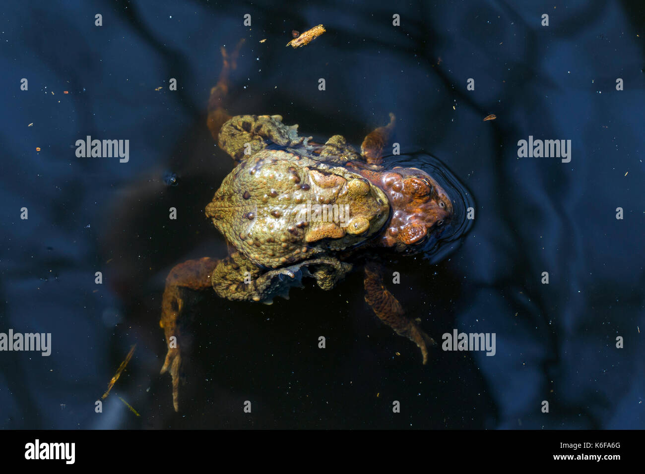 Common toad / European toads (Bufo bufo) pair in amplexus swimming in breeding pond in spring - Stock Image