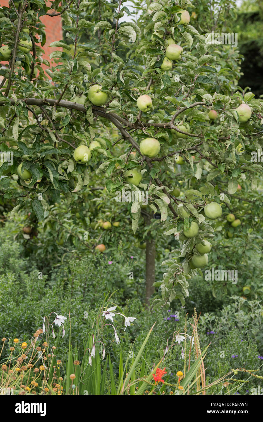 Malus domestica. Gloria mundi apple tree with apples in august. Cooking apples - Stock Image