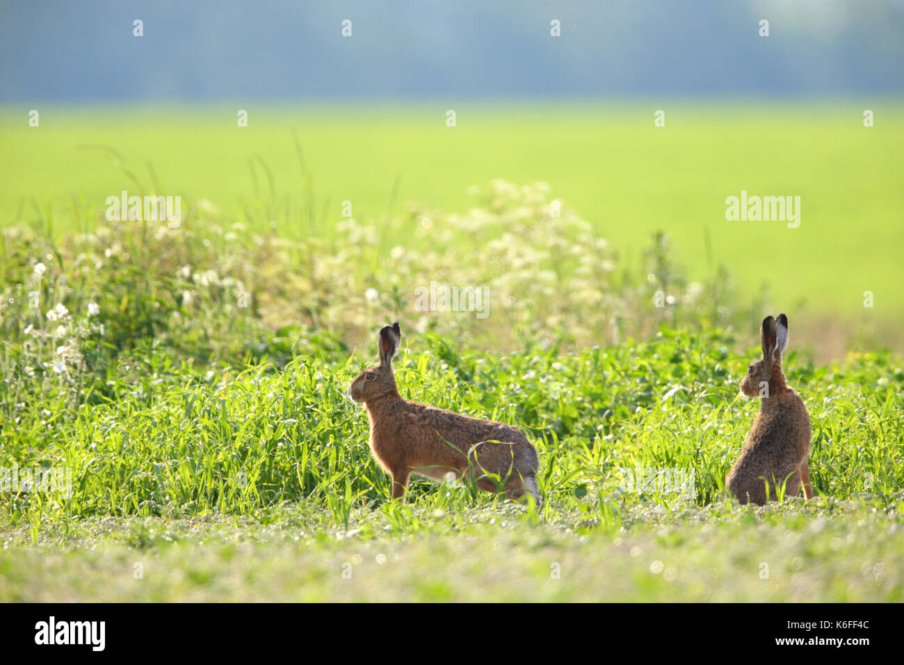 Brown Hare (Lepus europaeus) in spring - Stock Image