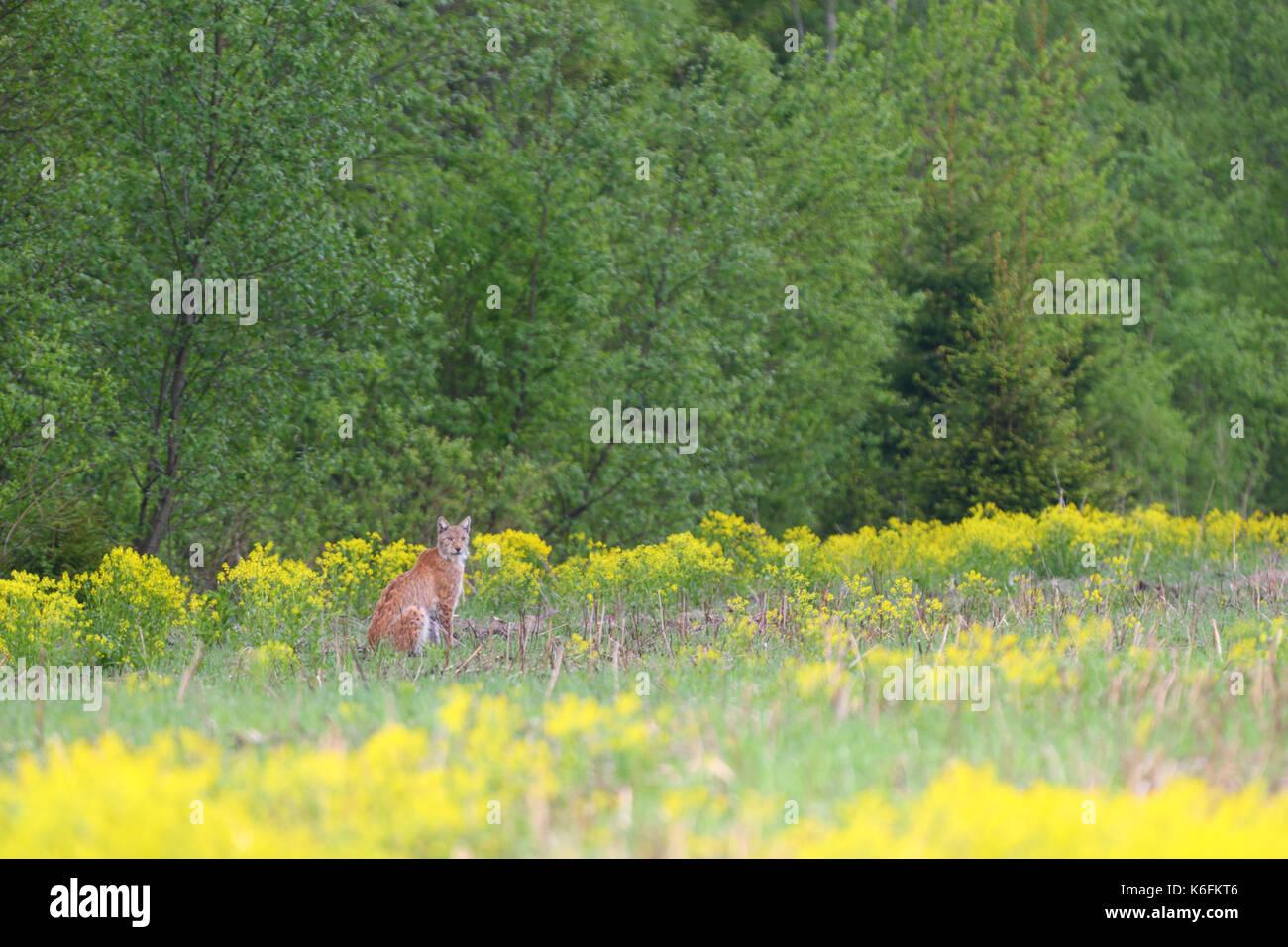 Wild and free European lynx (Lynx lynx) in Estonia, Europe Stock Photo