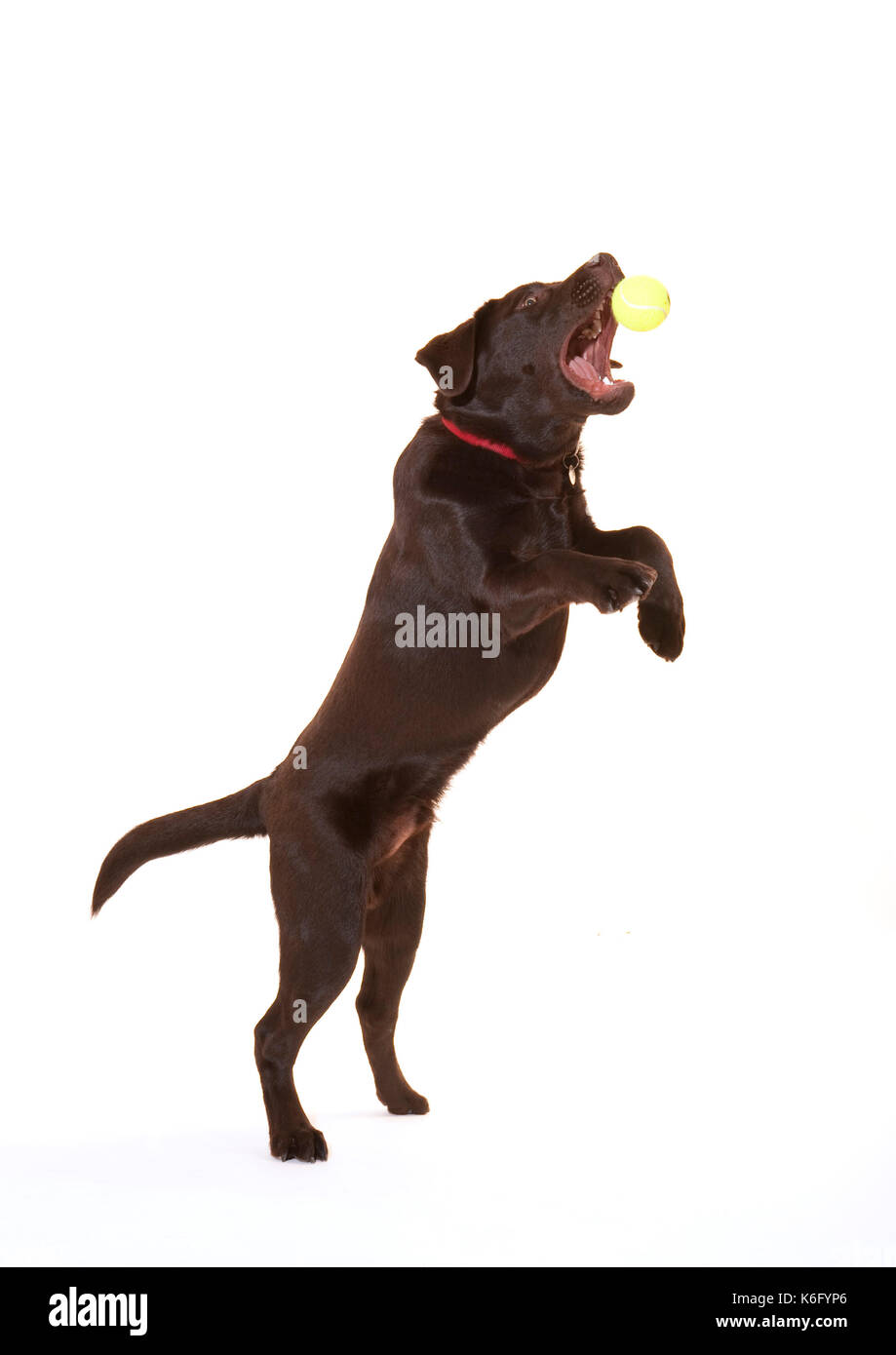 6 month old Labrador Dog, in studio, UK, Chocolate brown colour, jumping up catching ball, playing - Stock Image