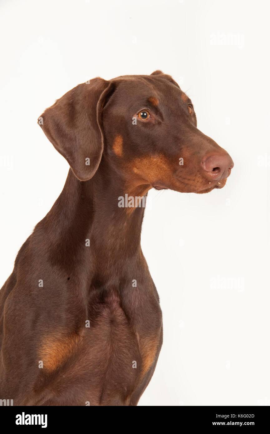 Dobermann Dog, Head Study, Studio, White Background - Stock Image