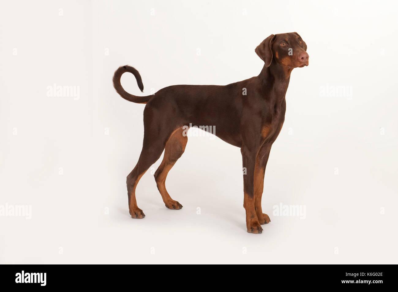 Dobermann Dog, Standing, Studio, White Background - Stock Image