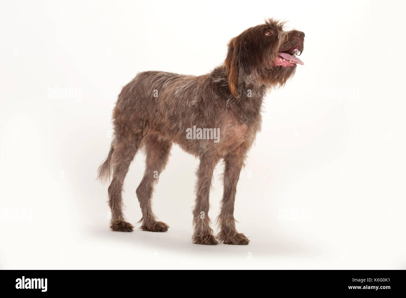 Luxury Spanish Pointer Wirehaired Picture Collection - Wiring ...