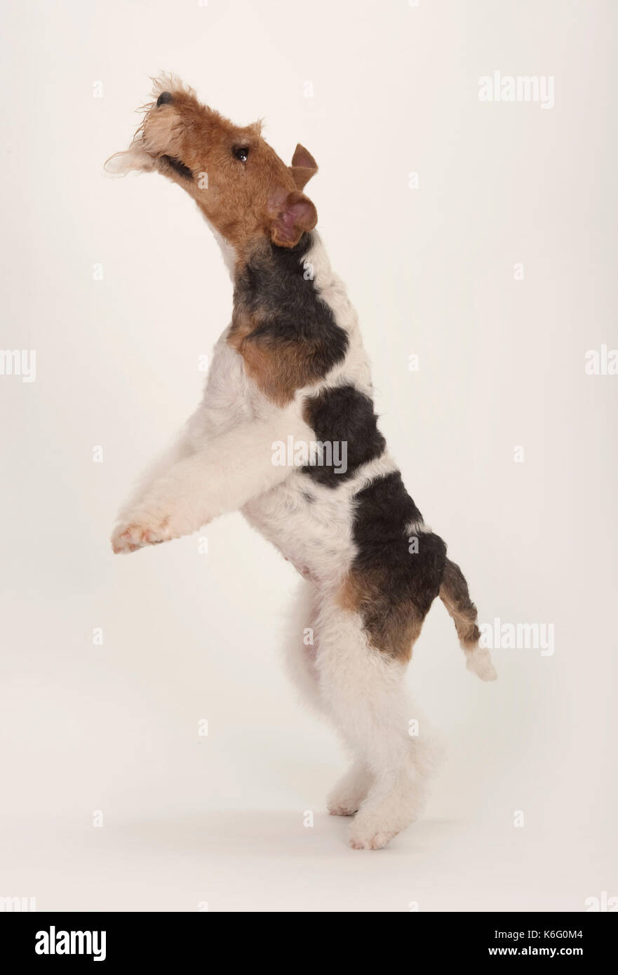 Wire Fox Terrier Dog, Jumping up on back legs, Studio, White Stock ...