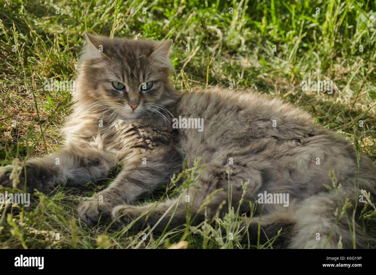 Beautiful Fluffy Gray Cat With Green Eyes Against A Background Of Stock Photo Alamy