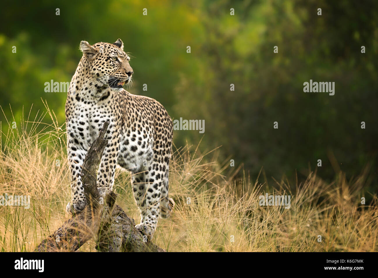 Matsebe, female leopard, (Panthera pardus) standing on treestump in Kwai, Okavango delta, Botswana - Stock Image