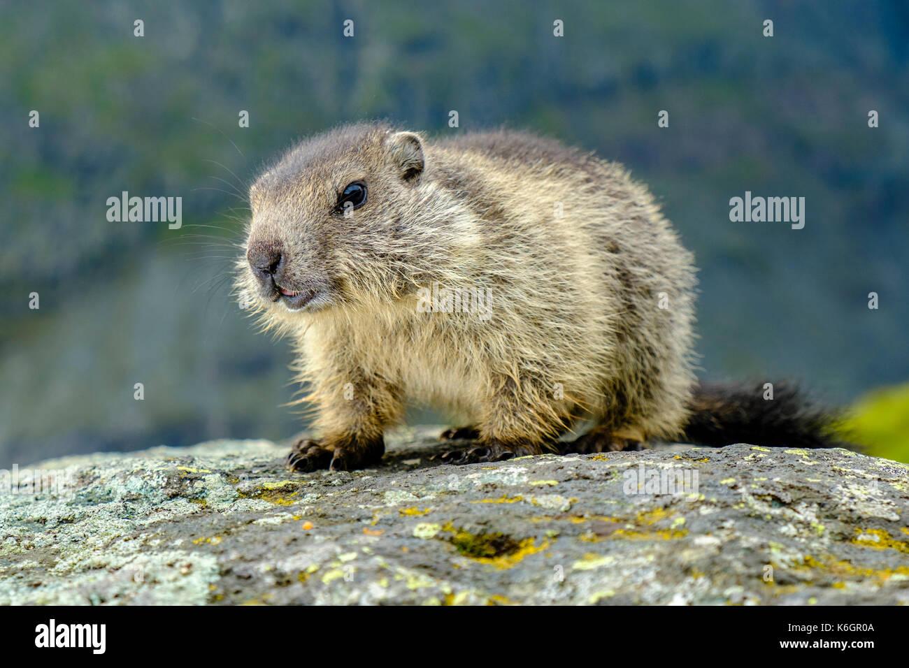 A baby Alpine marmot (Marmota marmota) is walking on a rock at Kaiser-Franz-Josefs-Höhe - Stock Image