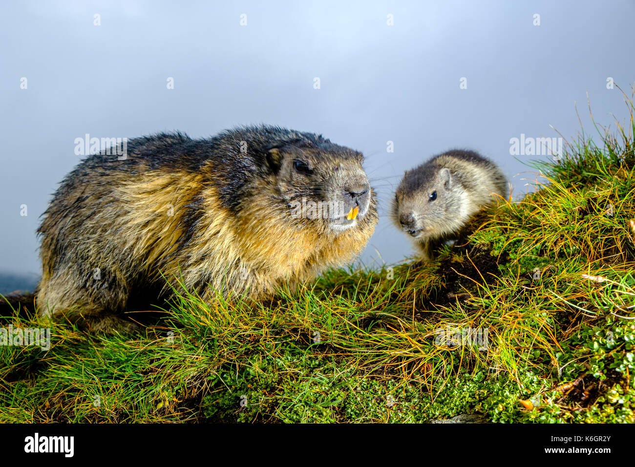 An adult and a baby Alpine marmot (Marmota marmota) are sitting on a mountain slope at Kaiser-Franz-Josefs-Höhe - Stock Image