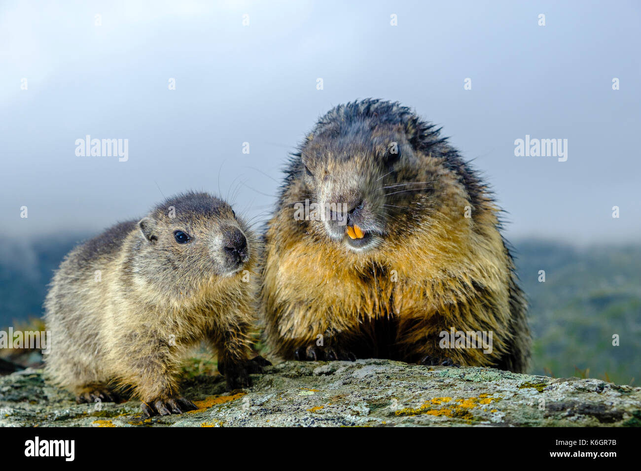 An adult and a baby Alpine marmot (Marmota marmota) are sitting on a rock at Kaiser-Franz-Josefs-Höhe - Stock Image