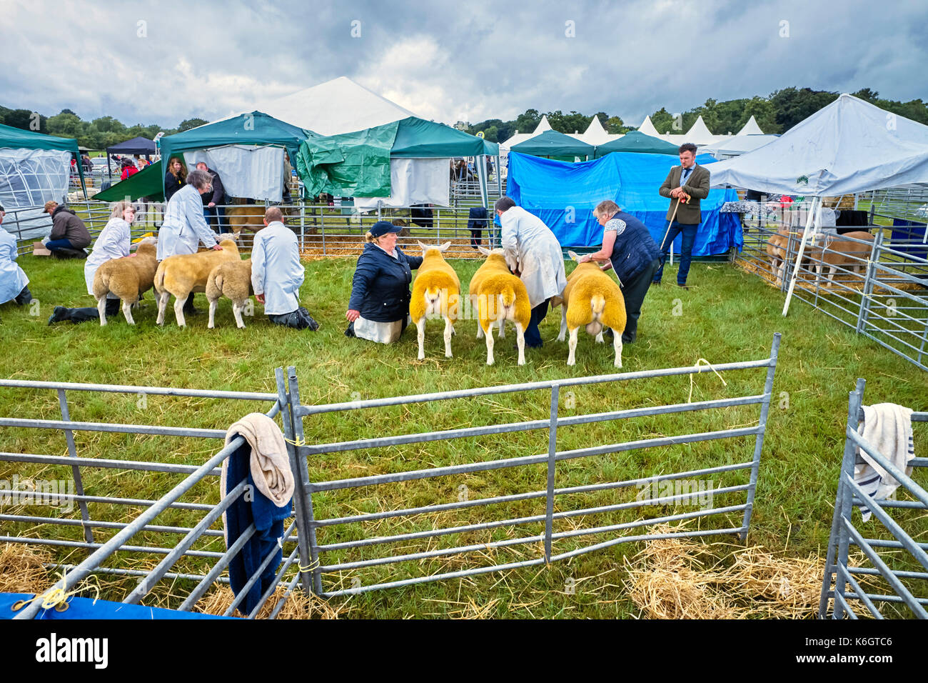 Sheep being judged at the Nantwich show - Stock Image