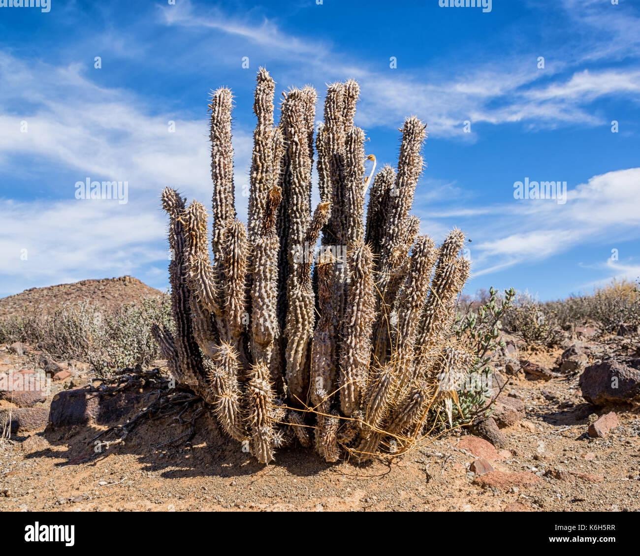 Hoodia Cactus Hoodia Gordonii High Resolution Stock Photography
