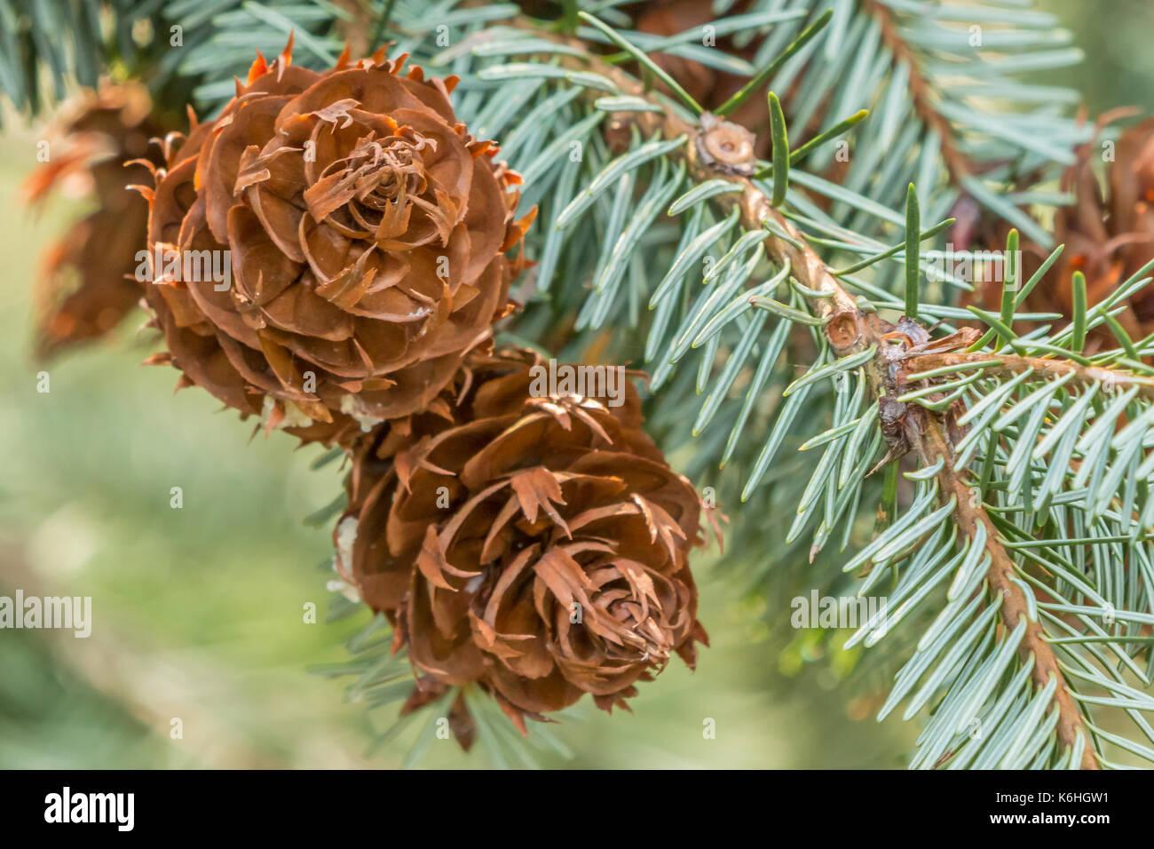 Coulter Pine Tree Stock Photos & Coulter Pine Tree Stock Images - Alamy