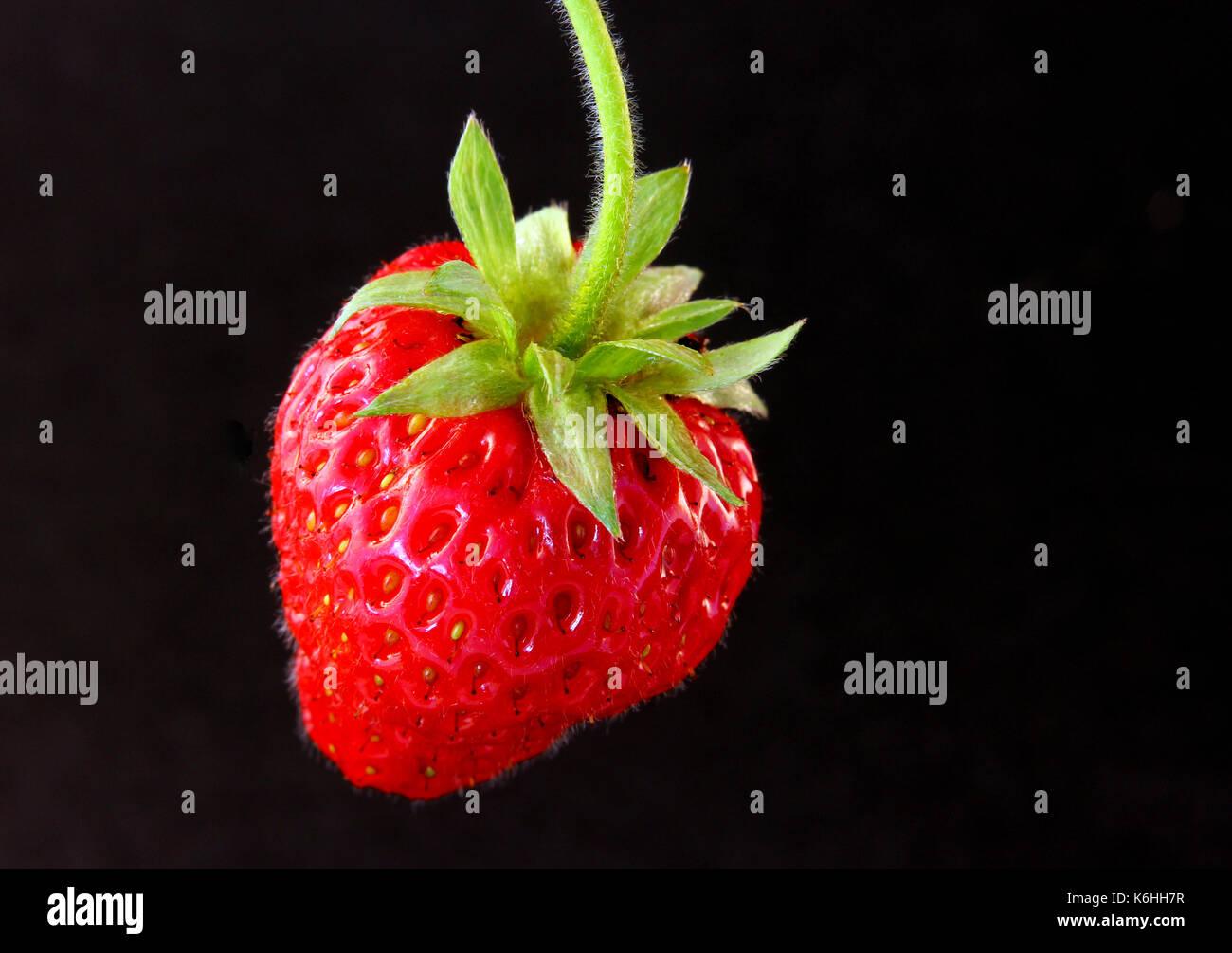 Einzelne Erdbeere vor schwarzen hintergrund freigestellt. - Stock Image