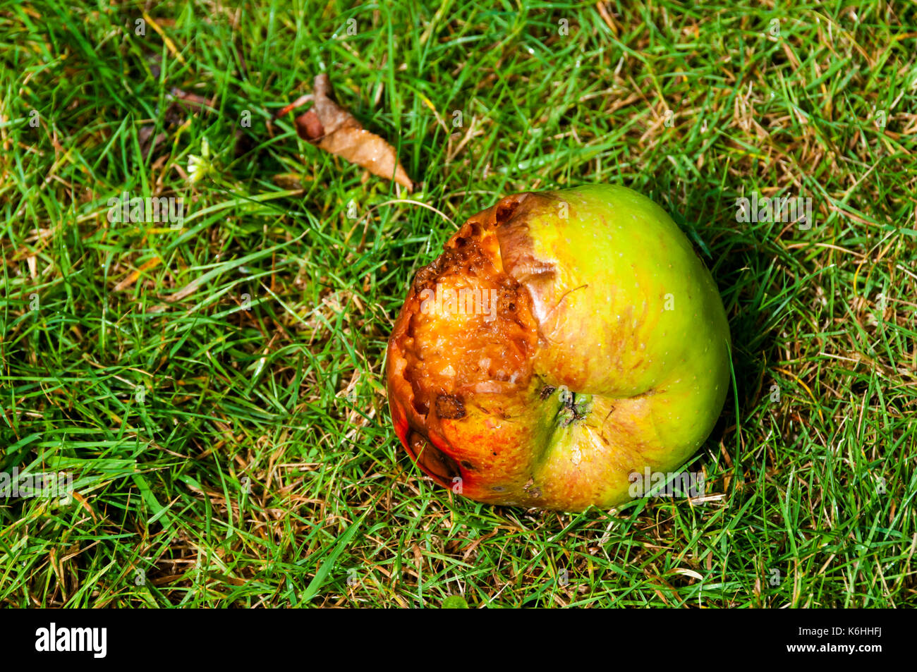 Windfall Bramley apple laying on grass.  It has been partly eaten by birds and is starting to rot. - Stock Image