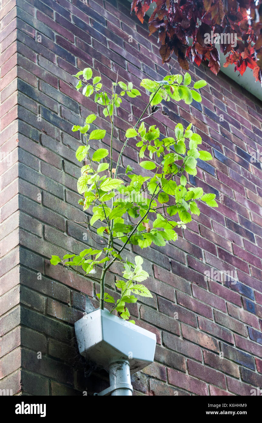A self-seeded copper beech sapling growing in a drainage hopper head. Stock Photo