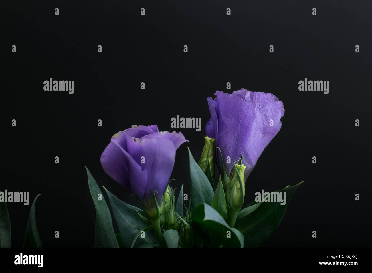 eustoma flowers - Stock Image