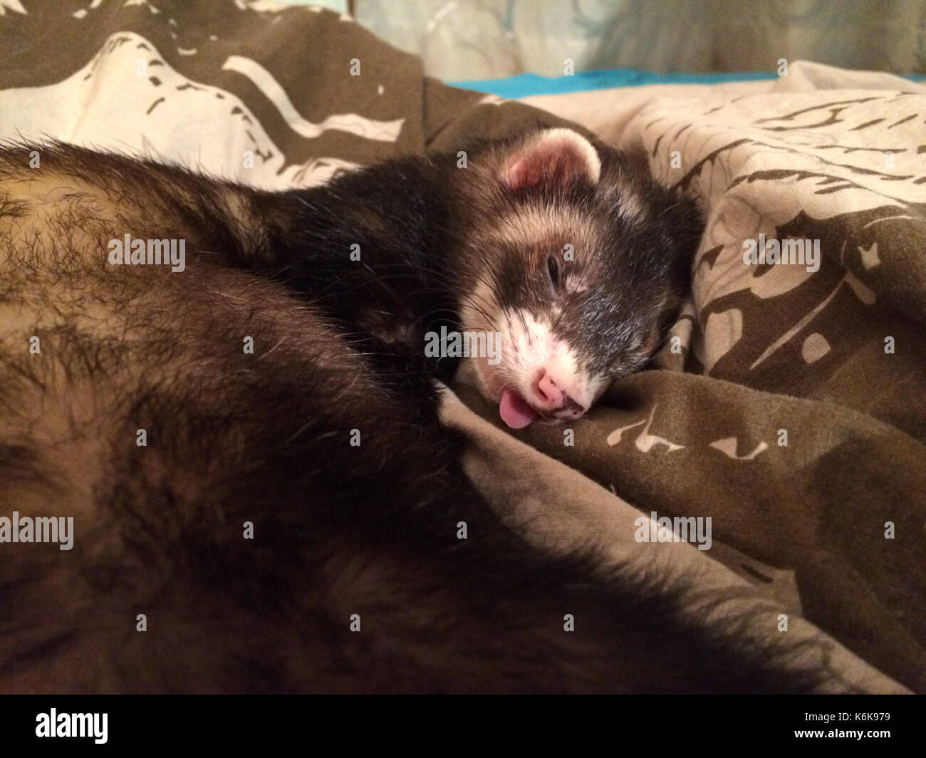 Sable ferret sleeping with his tongue out - Stock Image