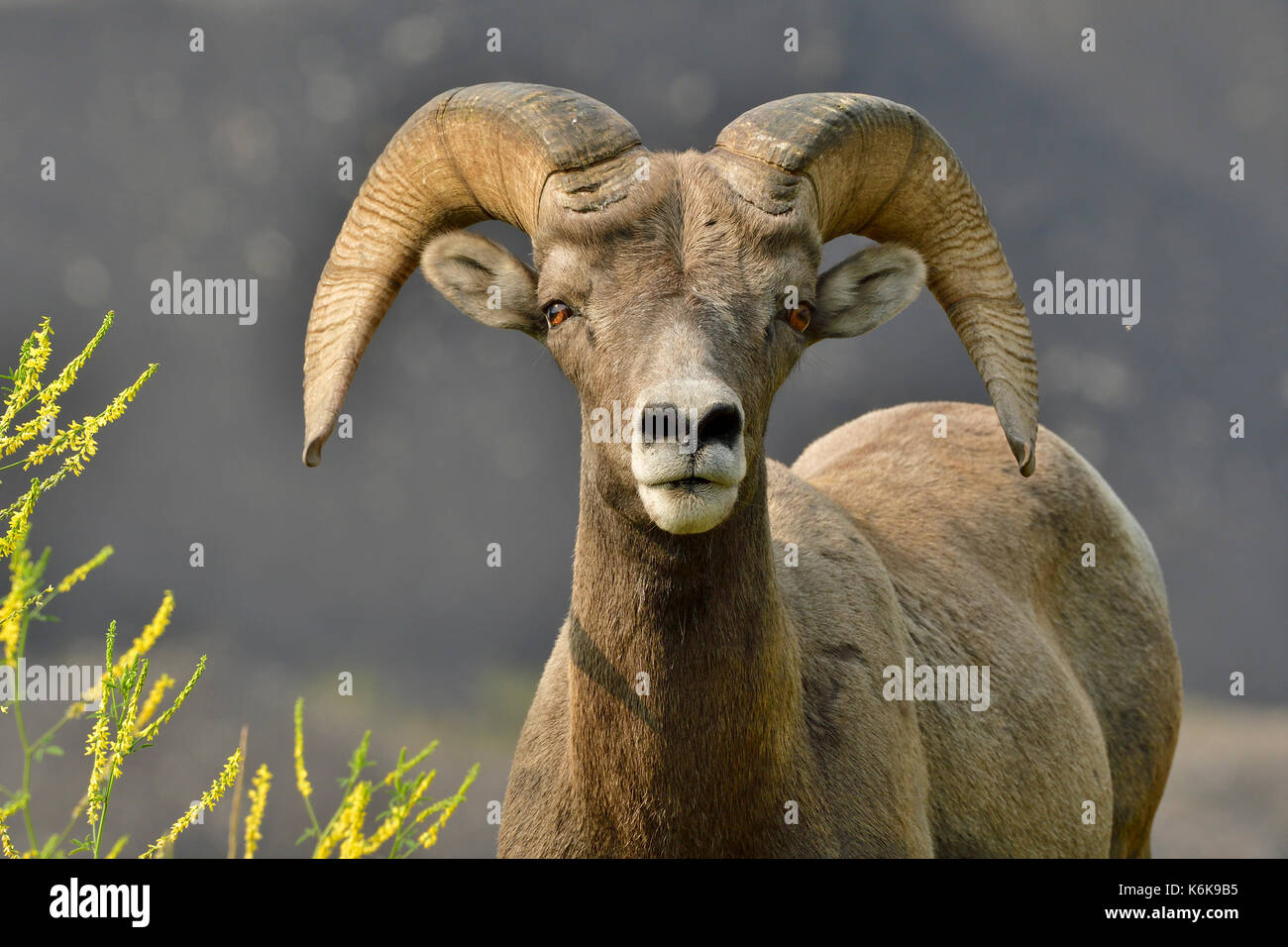An adult Bighorn Sheep  'Ovis canadensis'; looking forward near Cadomin Alberta Canada - Stock Image