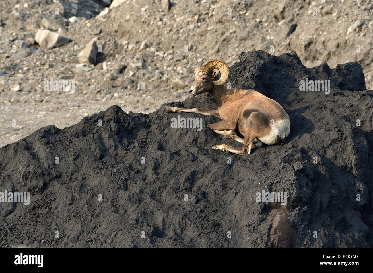 A wild Bighorn Sheep 'Ovis canadensis';  laying on top of a pile of coal at the Luscar mine near Cadomin Alberta Canada - Stock Image