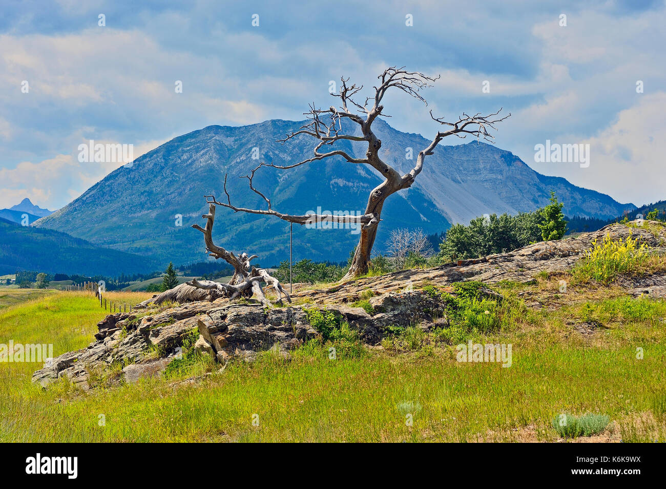 This Limber Pine tree is known as the Burmis tree for the former town of Burmis on Alberta highway 3  and stands as a sentinel to the Crowsnest Pass - Stock Image