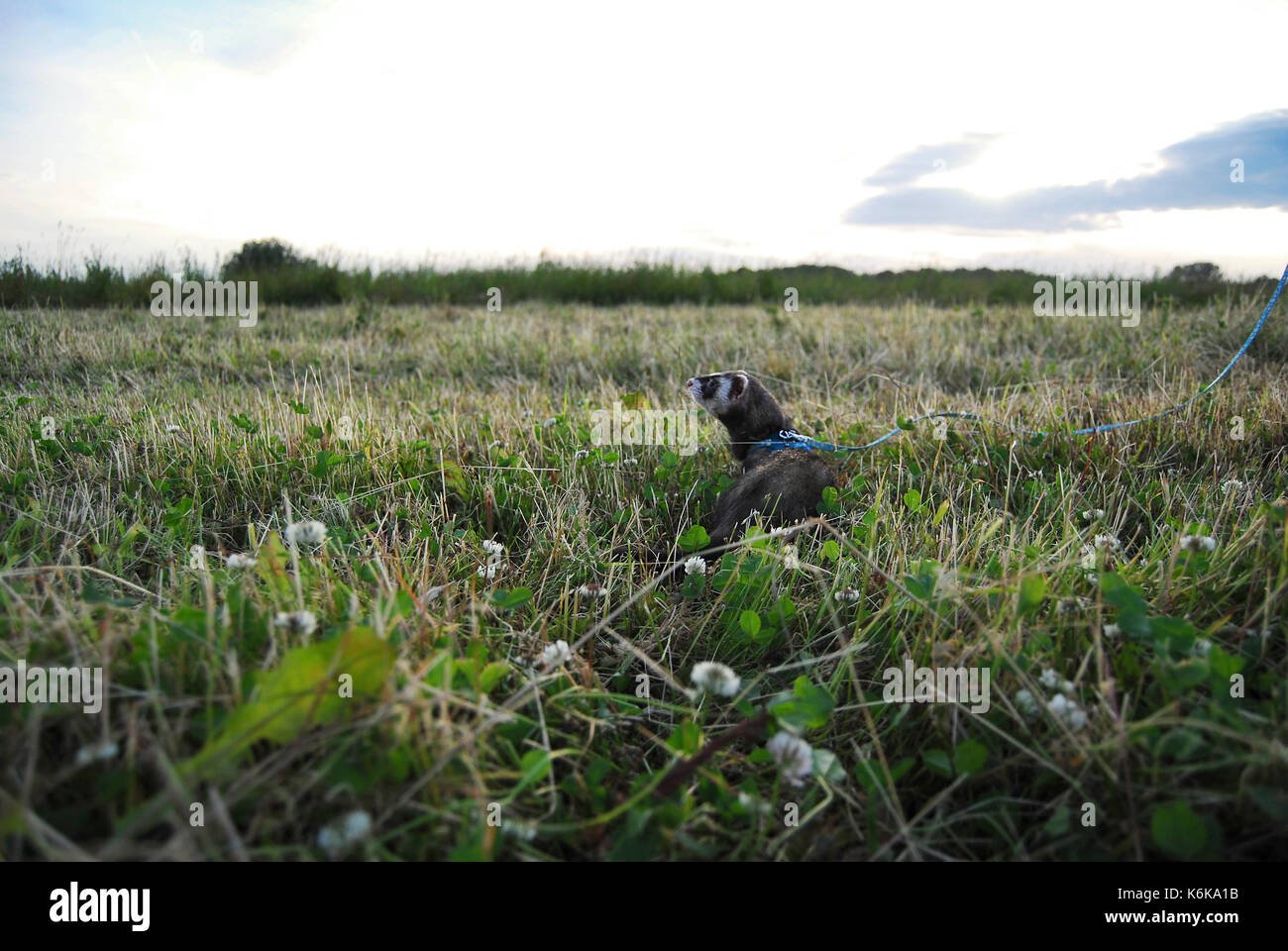 Sable ferret in a Latvian (Baltic) meadow - Stock Image
