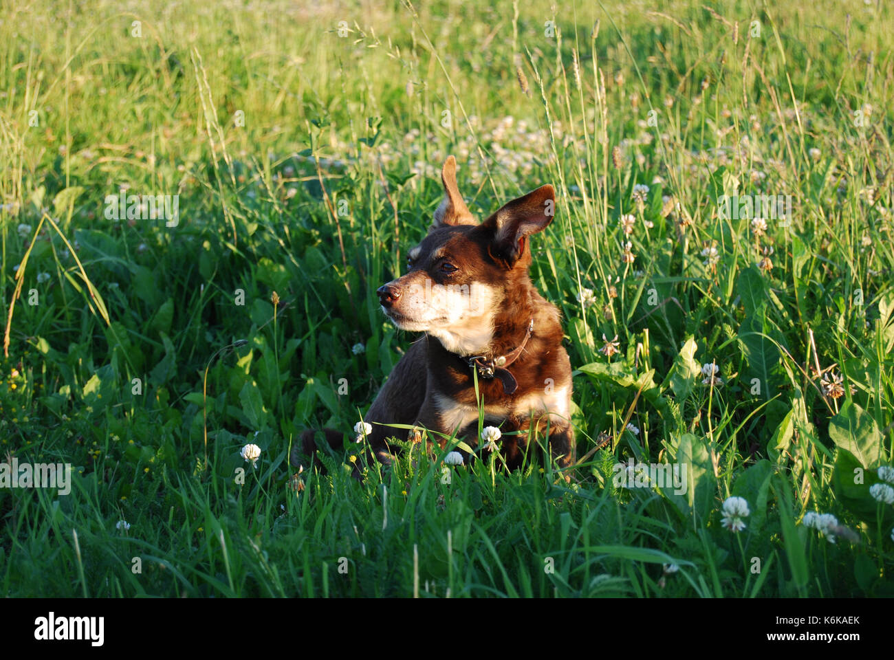 Small brown dog sitting in a meadow - Stock Image