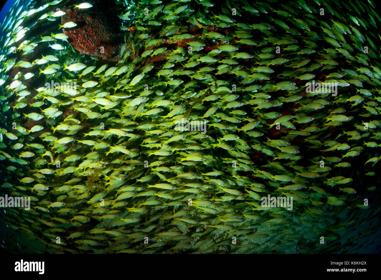 School of yellow fishes inside a ship wreck in Recife - Stock Image