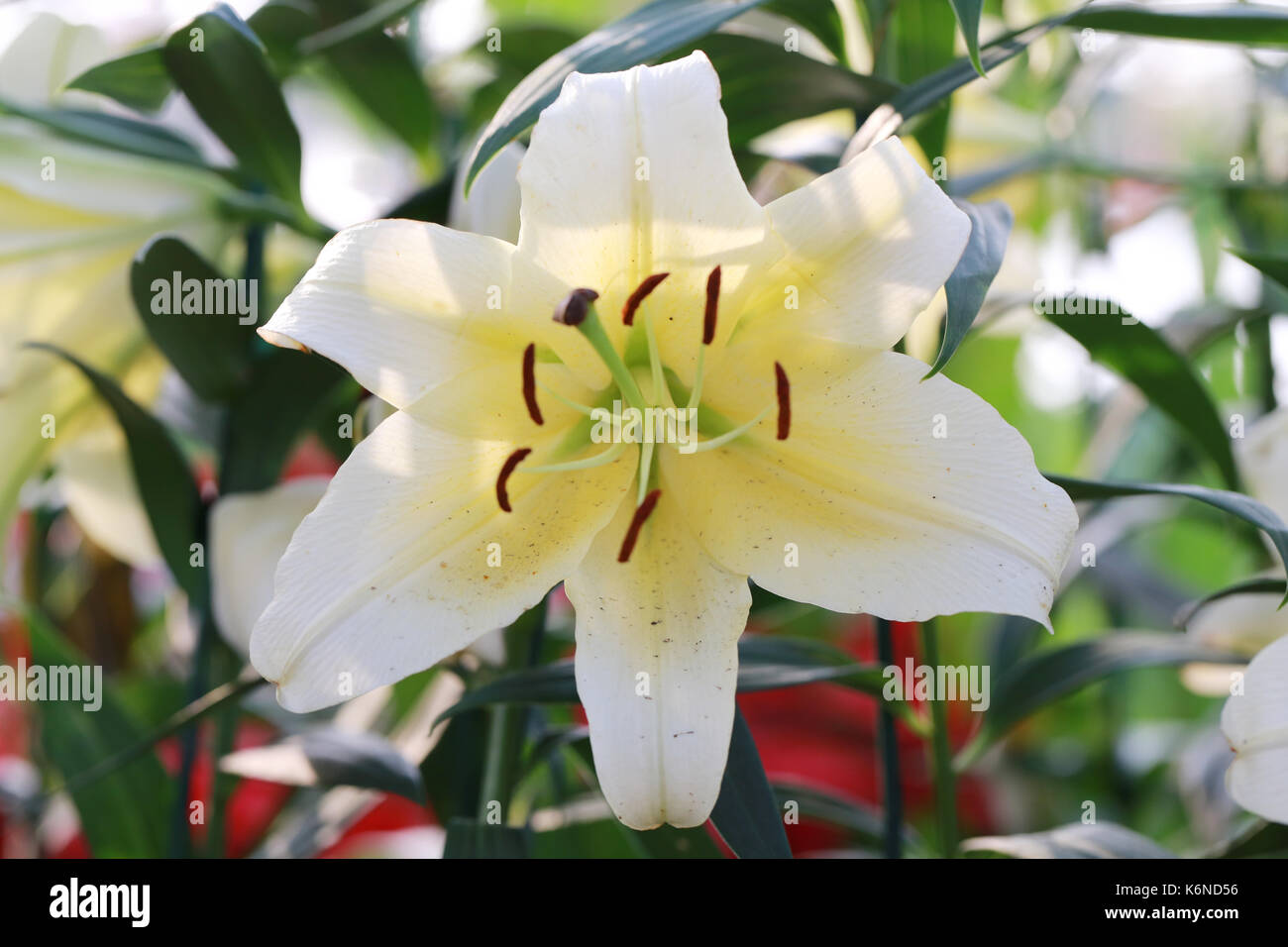 White Mix Yellow Of Lily Flower Are Blooming In The Flower Garden