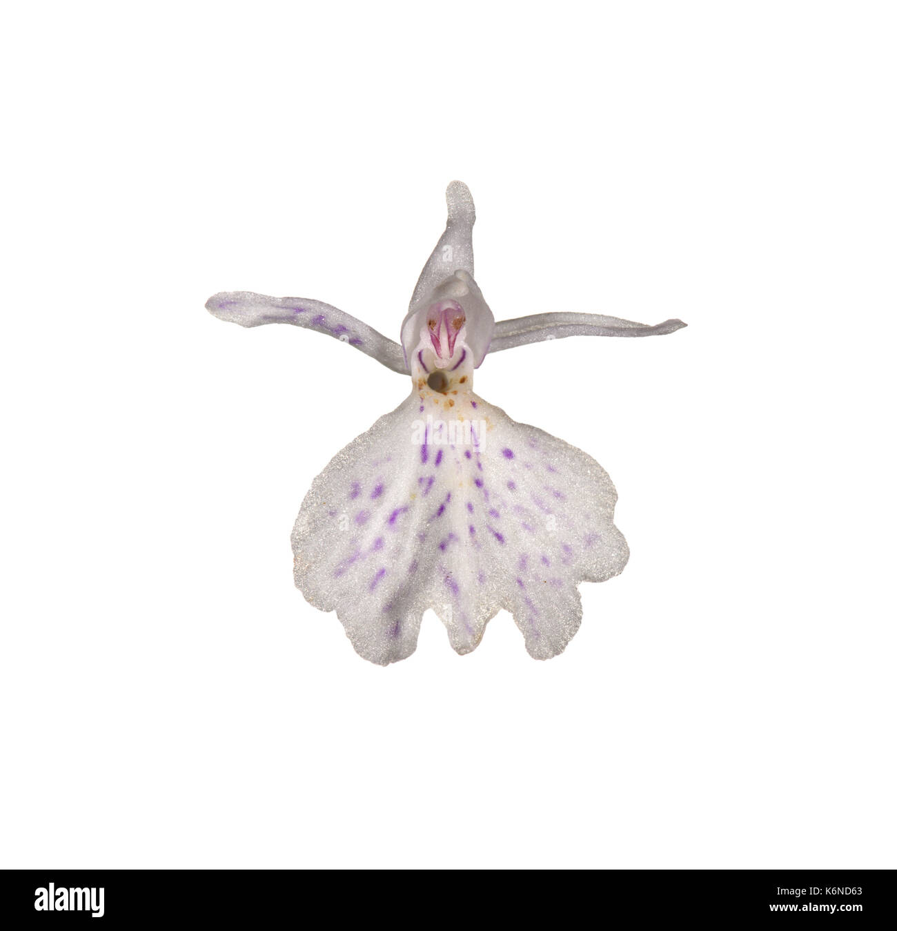 Heath Spotted-orchid - Dactylorhiza maculata - Stock Image