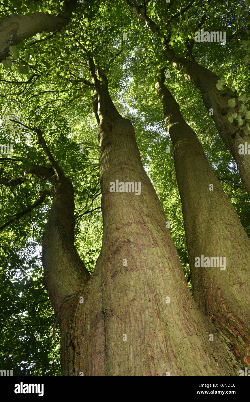Small-leaved Lime - Tilia cordata - Stock Image