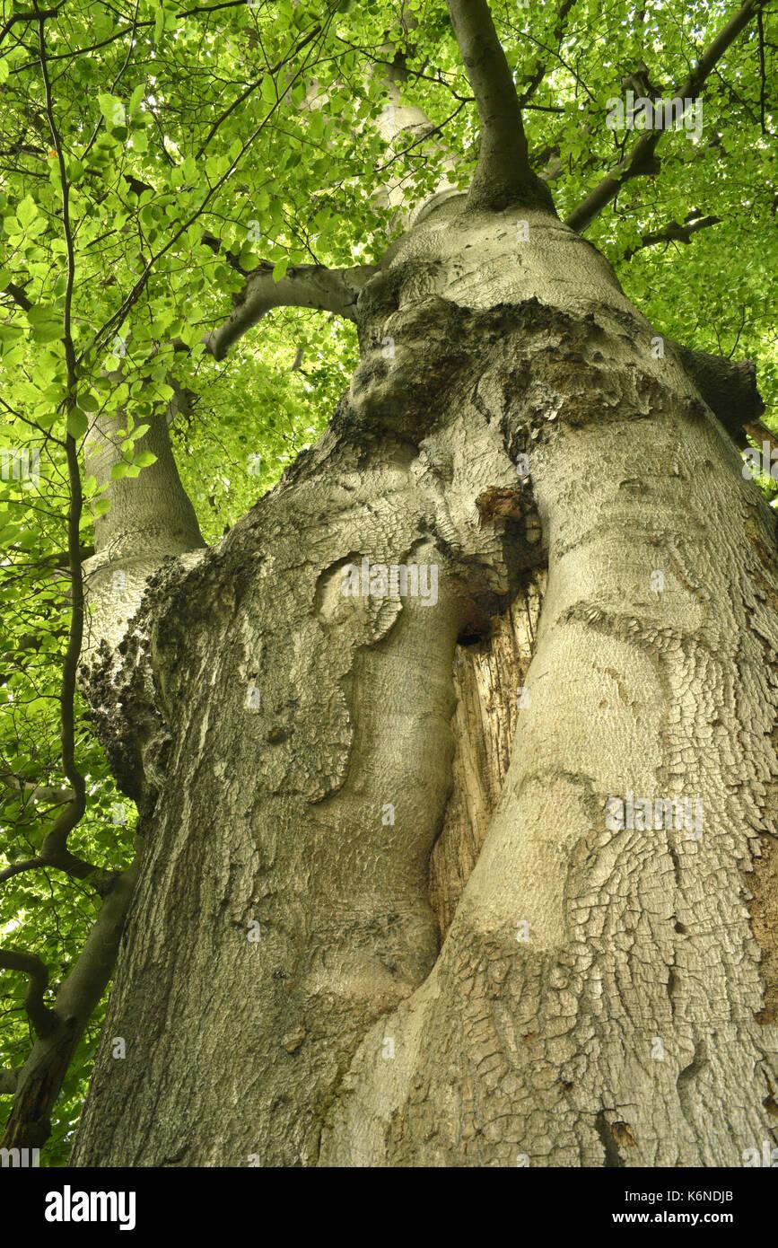 Beech - Fagus sylvatica - Stock Image