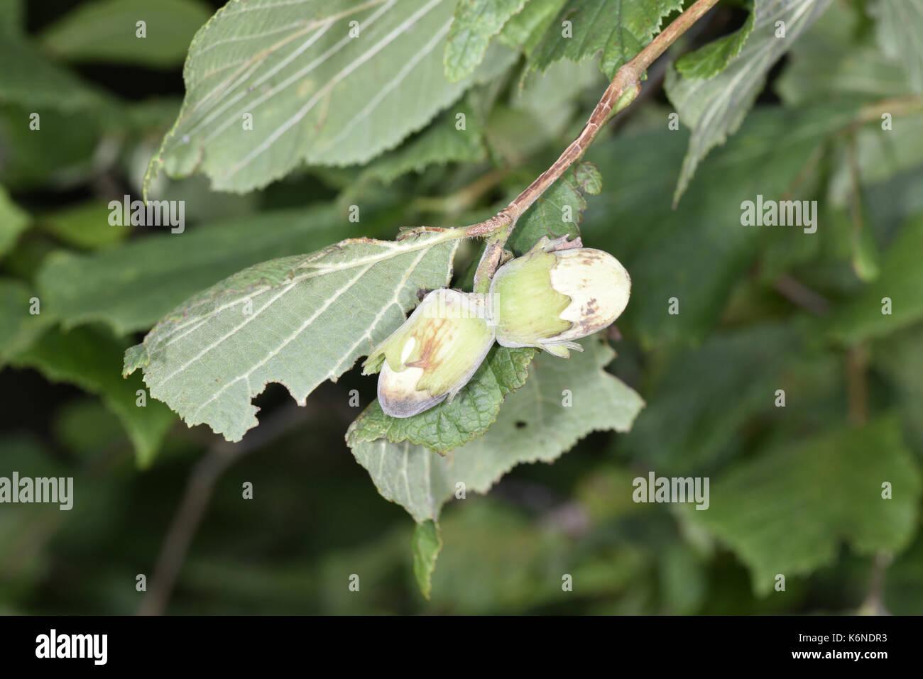 Hazel - Corylus avellana - Stock Image