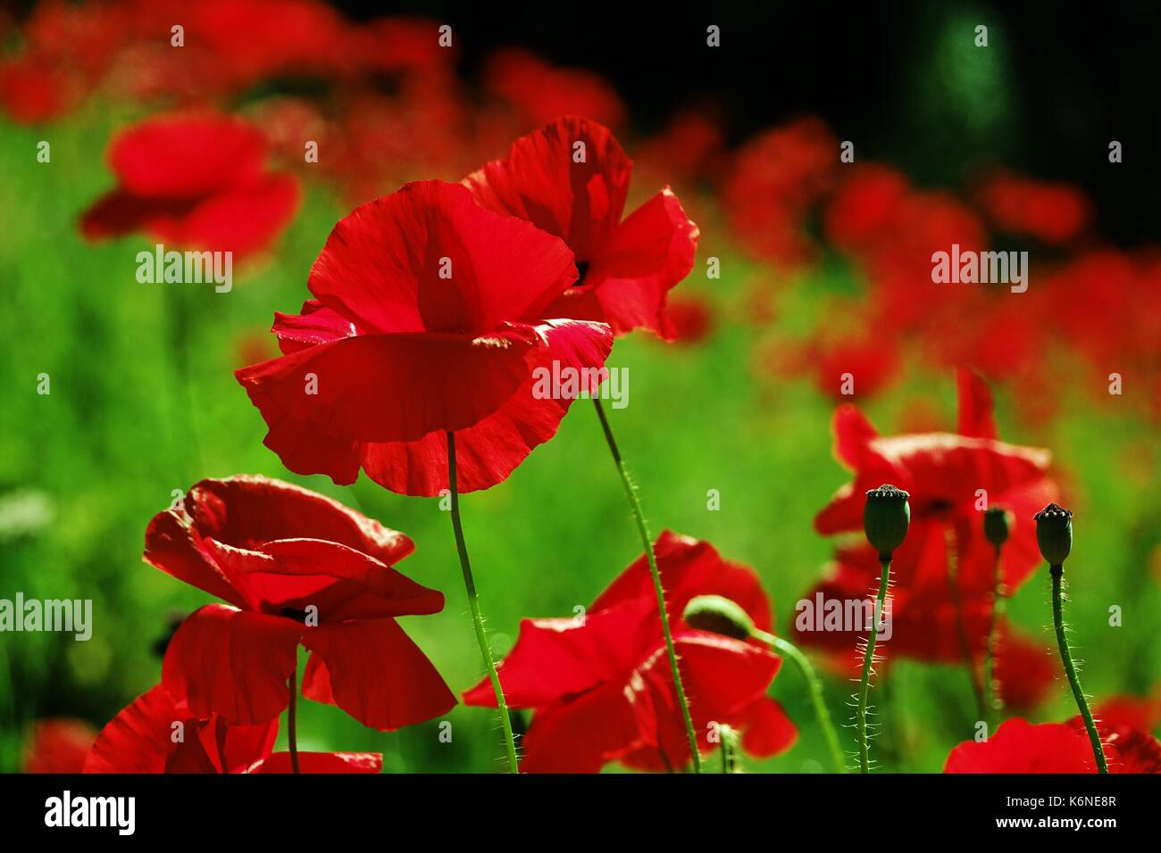 Poppy field  in summer - Stock Image
